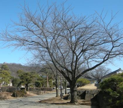 140205someiyoshino01.jpg