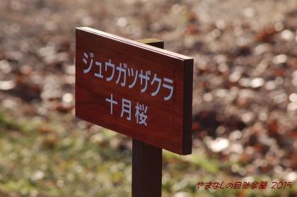150111sakura04.jpg