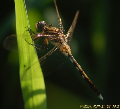 150815shiokaratonbo01.jpg