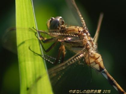 150815shiokaratonbo02.jpg