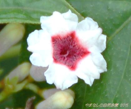 150829hekusokazura01.jpg