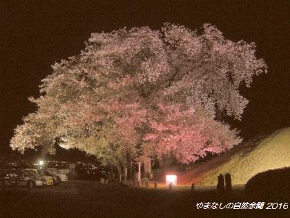 160408kokagezakura01.jpg