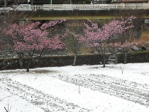 180321kawaduzakura01.jpg